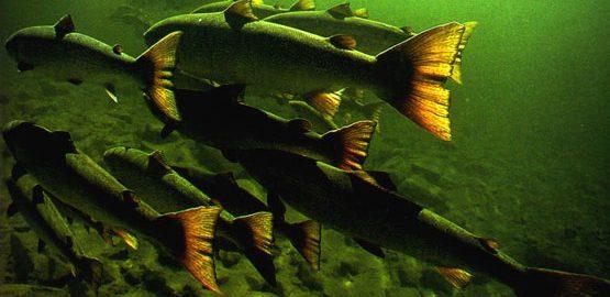 SALMON-Shoal-Underwater